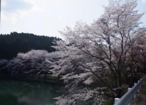 桜 in  熊本