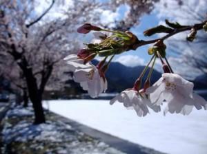 雪景色の桜
