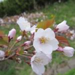 桜咲いたね