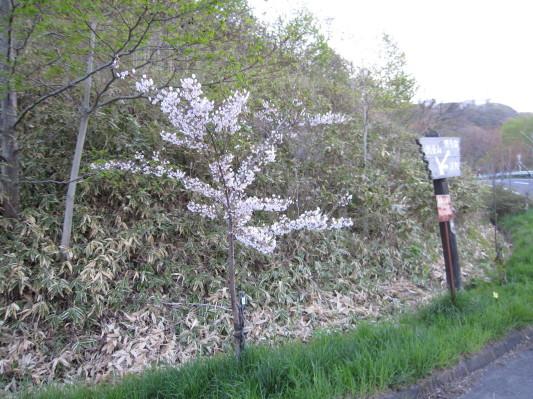 測量山の桜