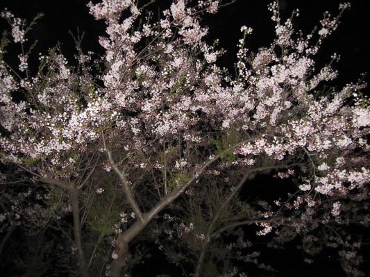 母恋富士下の桜1
