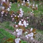 桜咲いたよね?