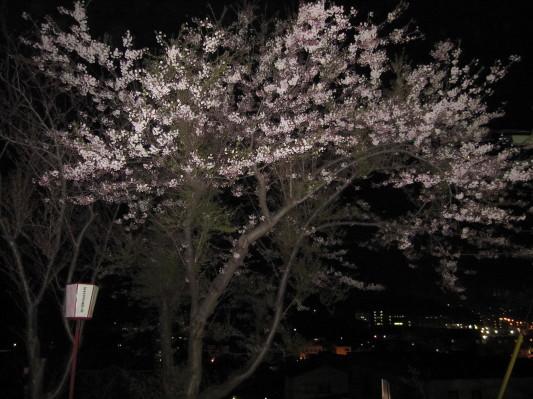母恋富士下の桜2