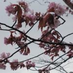 桜咲いた?