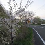 桜ロード2