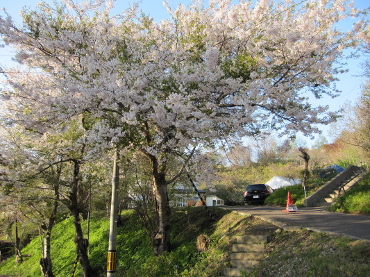 お花見広場の桜