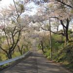 母恋富士下 桜並木道3