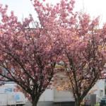 まだまだ桜は現役