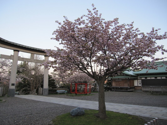 室蘭八幡宮の桜