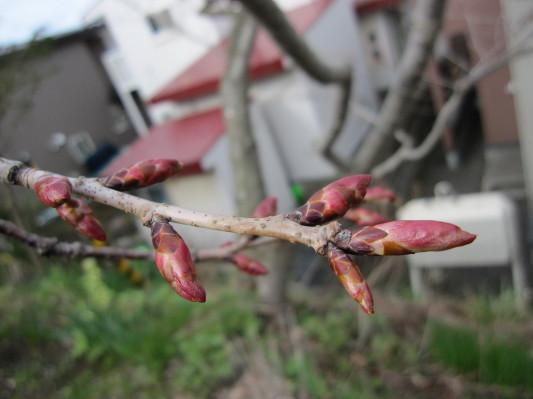 桜のツボミ