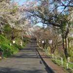母恋富士下 桜並木道