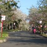 母恋富士下 桜並木道2