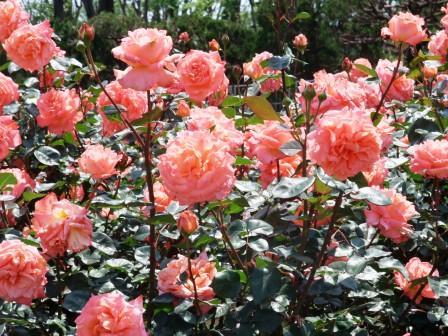バラ in  神代植物公園