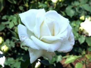白いバラ 角度をかえて