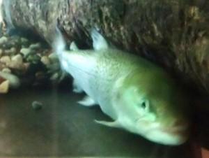 幻の魚 イトウ
