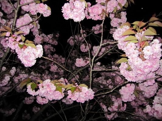 室蘭の桜ですよ