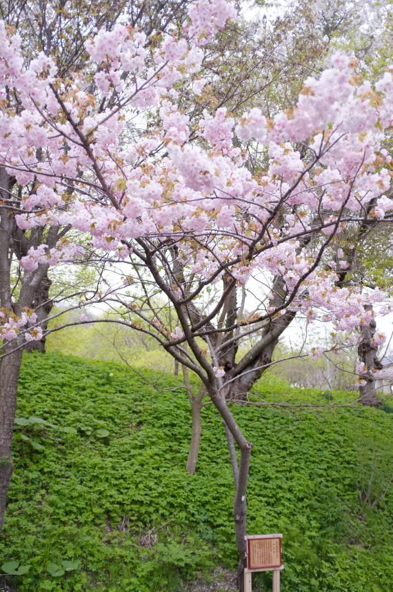 塩竈桜2012