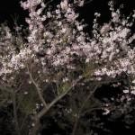 母恋富士下桜並木 夜