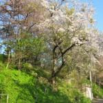 母恋富士下桜並木