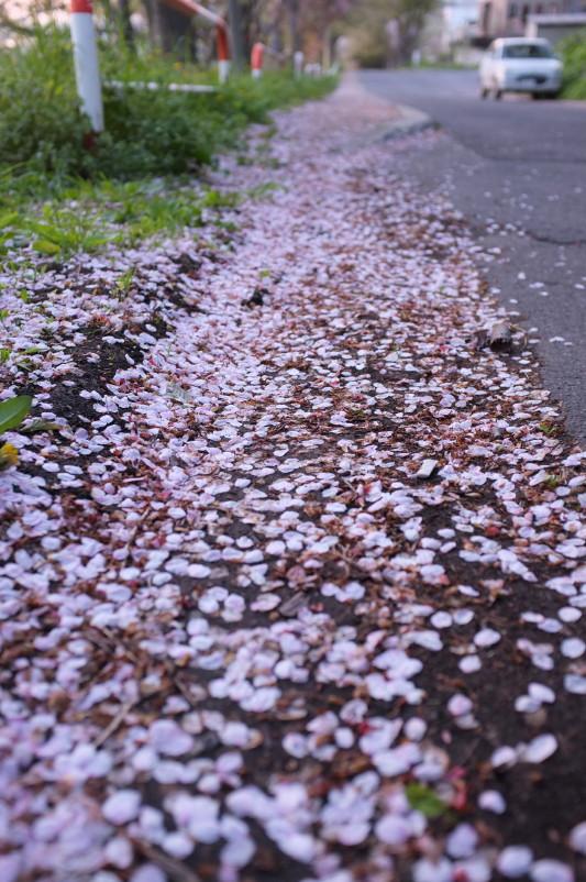 母恋 塩竈桜