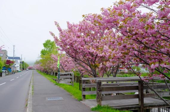 鷲別川沿いの桜2013年