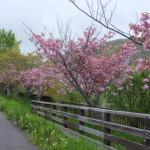 鷲別川沿いのサクラ並木