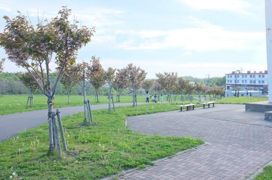 白鳥台北公園のサクラ