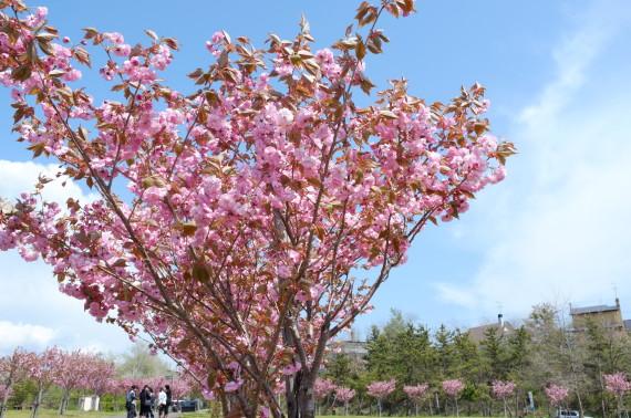 白鳥台北公園のサクラ2012
