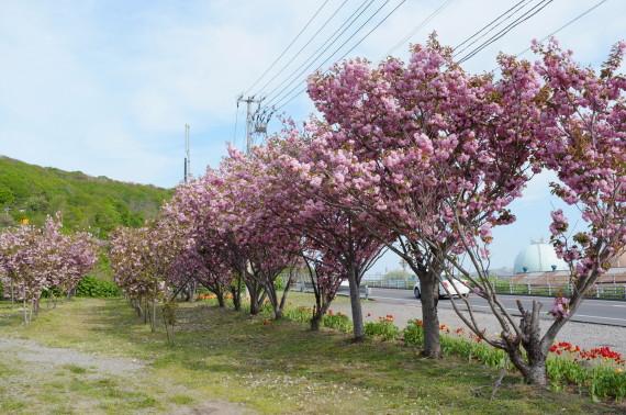 幌萌町バス停の桜並木 2012年