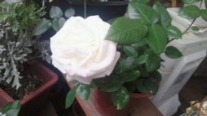 四日後の見事なバラ
