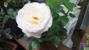 翌々日朝のバラ