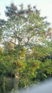 見事なもちの木