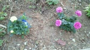 植えられたバラたち
