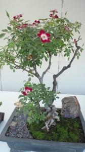 バラの盆栽その1