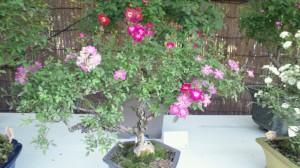 バラの盆栽その2