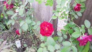 不明の赤いバラ