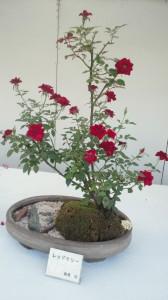 バラの盆栽その3