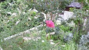 サルスベリ(フライング気味の花)