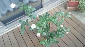 プリンセス、ぼちぼち花が
