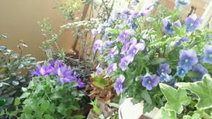 紫のビオラとクレマチス