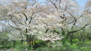 ぎりぎり間に合った桜 - コピー