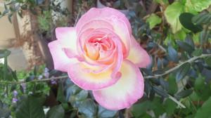 そして綺麗に咲いたプリンセス
